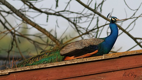 1.01326 Paon bleu (mâle) / Pavo cristatus / Indian Peafowl
