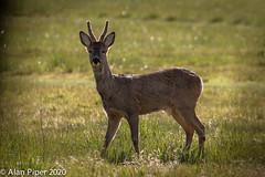 Backlit Roe buck