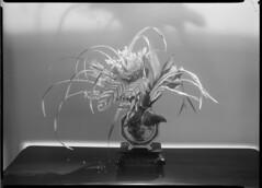 Flower arrangement by Adrian Feint, November 1947, photographed by Max Dupain