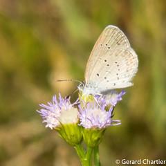 Zizina otis sangra (Lesser Grass Blue)