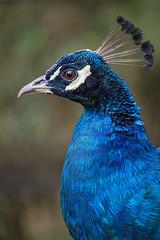 Close profile of a peacock