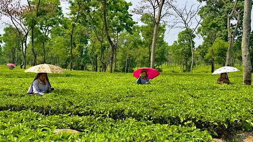 Dooars India Picture : Tea estate workers, Dooars region, W. Bengal, India