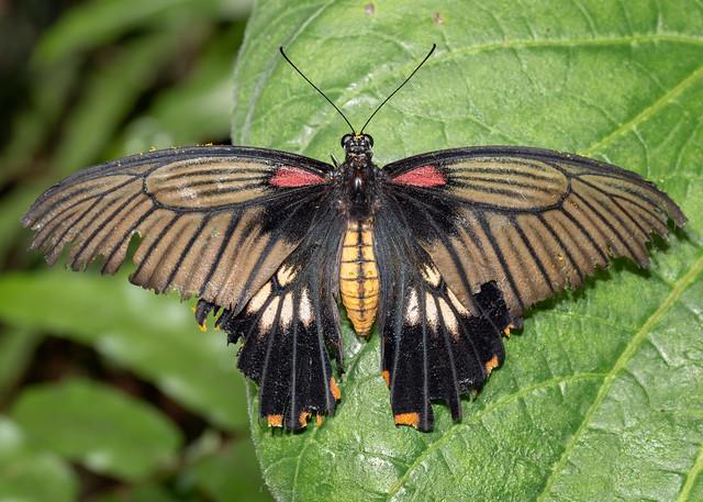 Great Mormon Butterfly, Mariposario, Benalmadena, Spain