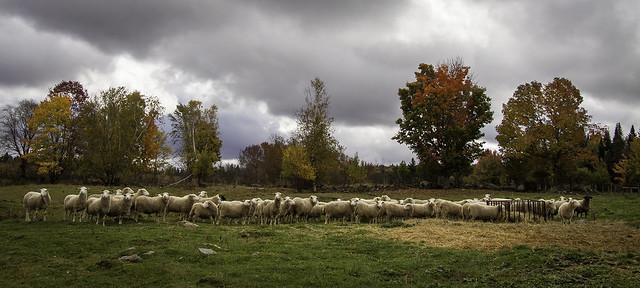 ACSPhoto_Rentre tes blancs moutons_Daniel Paquette