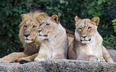 Two lionesses and Mbali