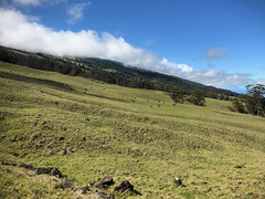 Cattle grazing on Mount Haleakala