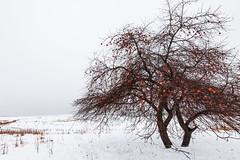 Apple Tree in Winter in Central Michigan