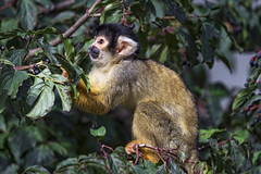 Squirrel monkey in the tree, collecting fruits