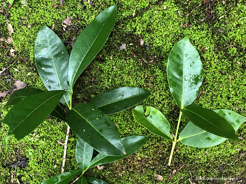 Left - Ixora queenslandica, Right - Ixora beckleri