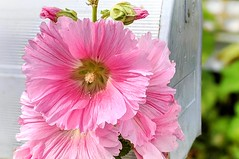 Hollyhock Mail