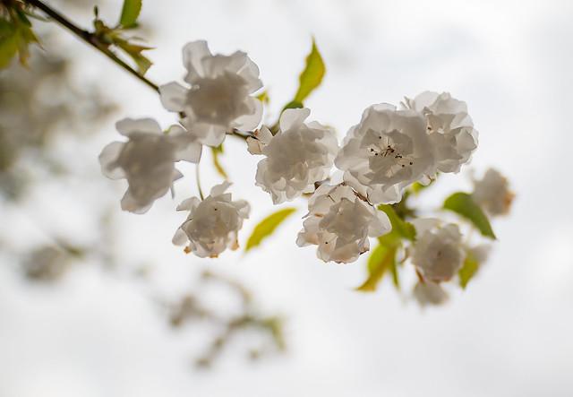 Malus (Apple Blossom)