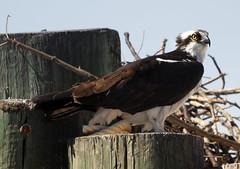 Osprey bird - Jamestown Ferry docks -   Virginia