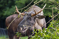 Elk eating some vegetation