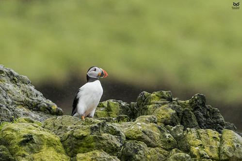 Papagaio-do-mar, Atlantic puffin (Fratercula arctica)