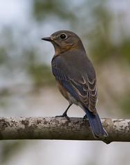 Eastern Bluebird, female