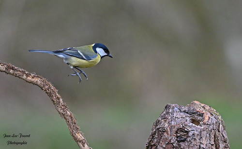 Mésange charbonnière ( Parus major - Great Tit )