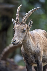 Brave young ibex