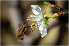 Bee fly (Bombylius major) Dark edged.