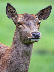 Close portrait of a young deer
