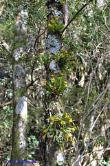 Acianthera sonderana in situ