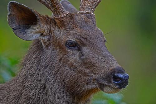 Sambar Deer, Rusa unicolor DSC_0688