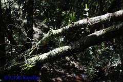 Campylocentrum aromaticum in situ