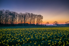 Spring in Holland: Daybreak