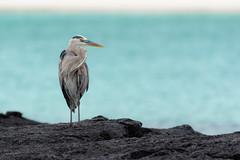 Great Blue Heron, San Cristobal Island, Galapagos