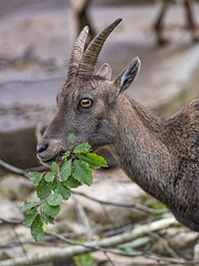 Young ibex eating leaves