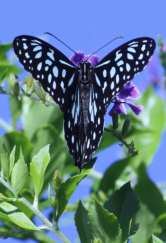 Blue Tiger Butterfly 015
