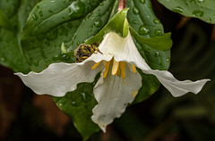 The thrill of seeing a Trillium with a beautiful leaf cutter bee, ( I think) Usually there are few insects on the trilliums because it is still quite cool when they bloom.