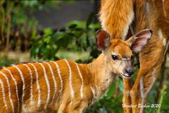 DSC04855 L4 Bongani  NYALA Antilope