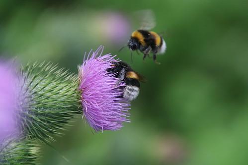 Bombus lucorum - Abejorro de cola blanca - white-tailed bumblebee
