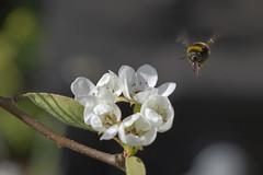 Bumble Bee-Bombus terrestris - Aardhommel bij perenbloesem