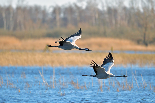 Two Crains passing low over water