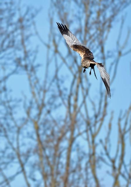 Marsh Harrier hunting