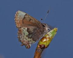 Henry's Elfin - Callophrys henrici, Meadowood SRMA, Mason Neck, Virginia