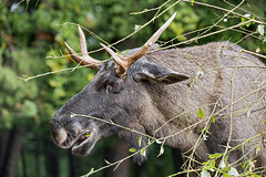 Profile of an elk eating