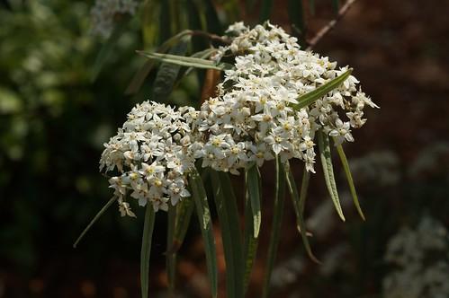 Commersonia salviifolia (Velvet Kerrawang)