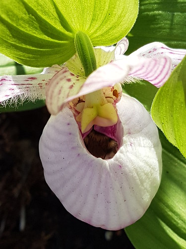 Cypripedium with bumblebee