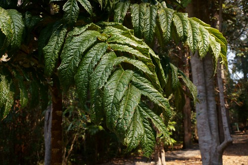 Hicksbeachia pilosa - Red Bauple Nut, Ivory Silky Oak