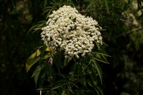 Canada elderberry flowering (Sambucus canadensis)
