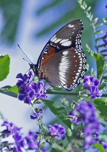 Eggfly Butterfly 009