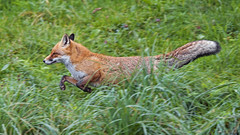 Fox running in the grass