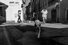 Grand chien blanc, Rue Portagnel à Arles