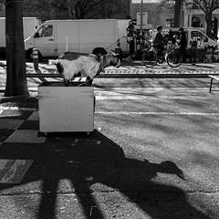 Chèvre au Marché d'Arles