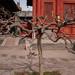 Trimmed Dragon Tree, Lama Temple, Beijing
