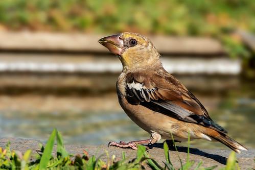 Bico-grossudo | Hawfinch (Coccothraustes coccothraustes)