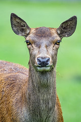 Close portrait of a young deer, looking at me