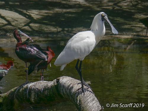 Royal Spoonbill and Glossy Ibis (captive)